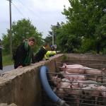 Stadtbewohner bewundern Öko-Schweine