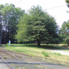 Bild des Kirschbaums an der Gleisschleife Leutewitz